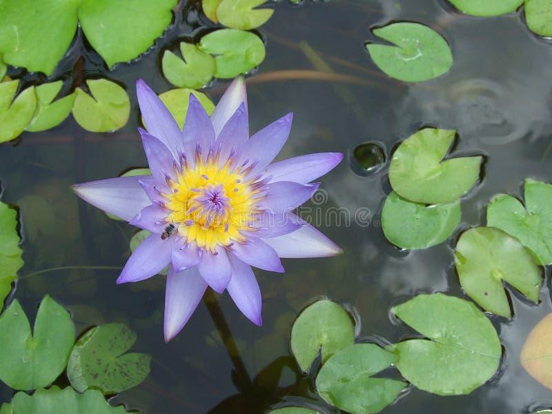 Thailand Lotus stock foto