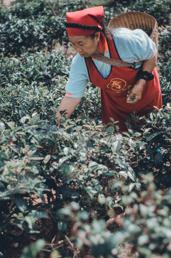 Gardeners collect tea leaves stock images
