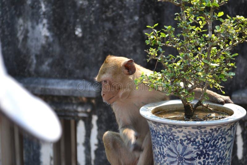 Thailand-mankey stockbilder