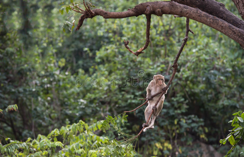 Thailand monkey climbing tree branches. royalty free stock photos