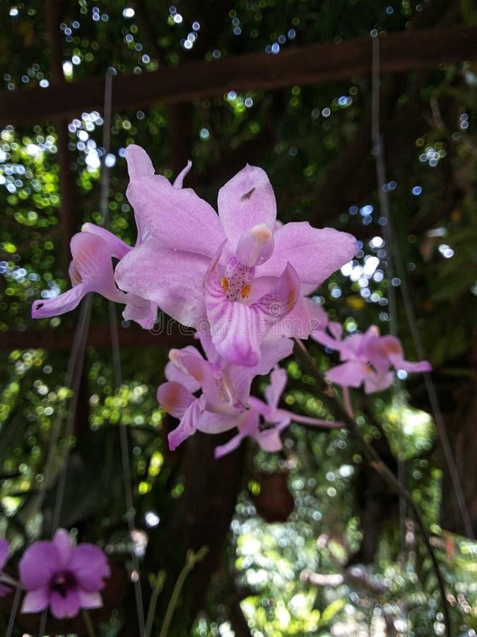 Thailand-Orchideen stockfoto