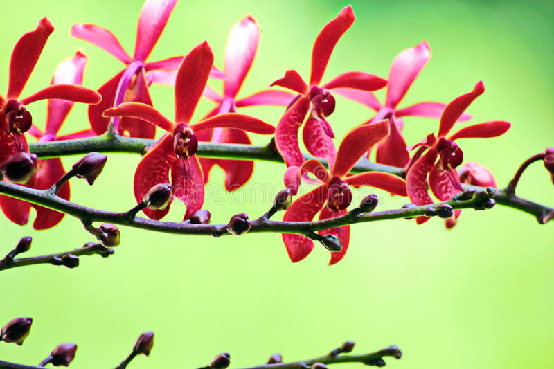 Thailand orkidé arkivfoto