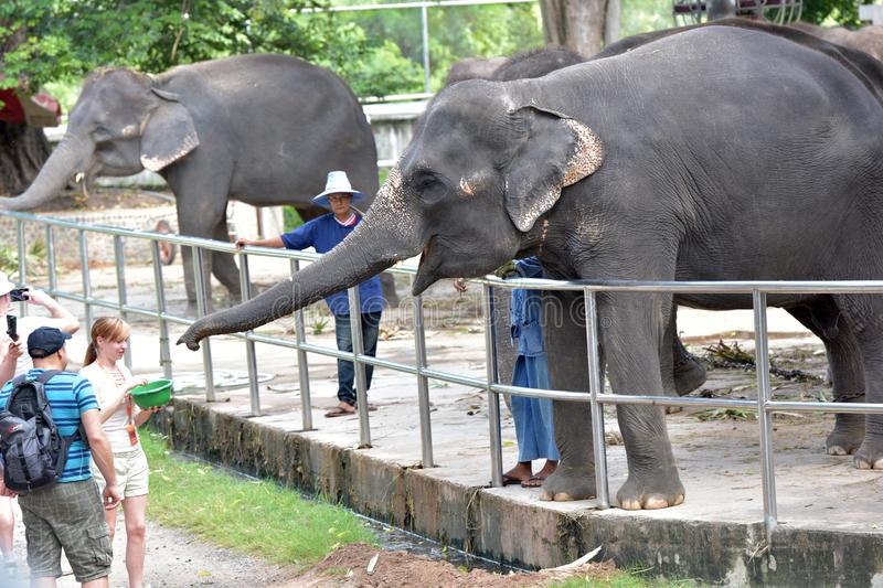 Thailand, Pattaya, 26,06,2017 Visitors feed elephants at the zoo royalty free stock images