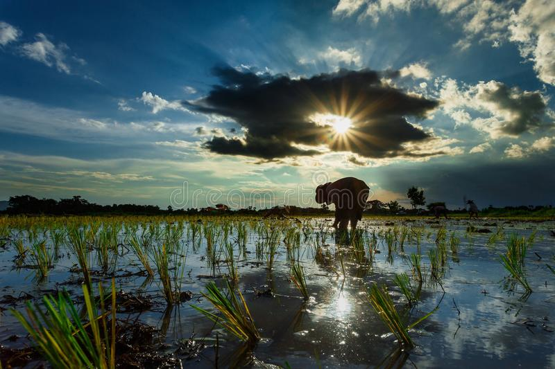 Thailand rice farmers planting season for household consumption and for income of the family for a long time. Farmers grow rice, agriculture blur royalty free stock image