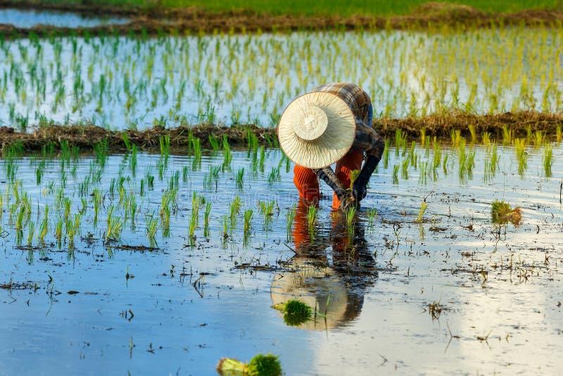 Thailand rice farmers planting season. royalty free stock photo