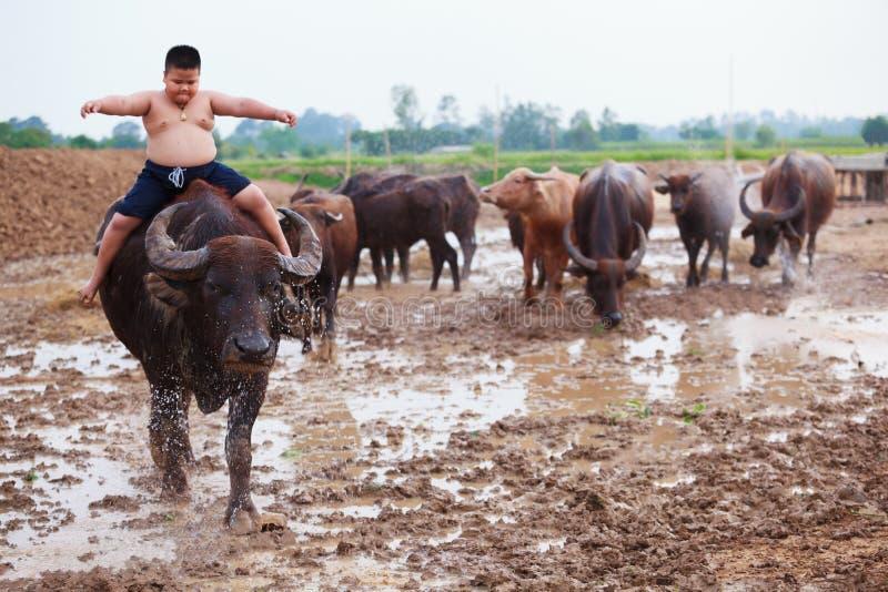 Thailand rider den lantliga traditionella platsen, den thailändska bondeherdepojken en buffel som ansar buffelflocken för att gå  royaltyfria bilder