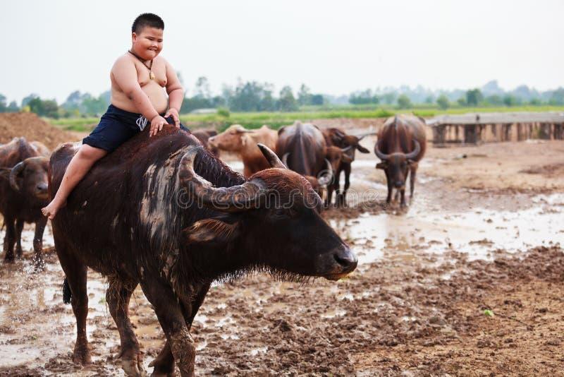 Thailand rider den lantliga traditionella platsen, den thailändska bondeherdepojken en buffel som ansar buffelflocken för att gå  arkivfoton
