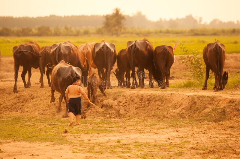 Thailand Rural Traditional Scene, Thai farmer boy herding buffaloes from paddies field back to animal barn. Thai Upcountry Culture royalty free stock image