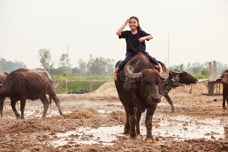 Thailand Rural Traditional Scene, Thai farmer shepherd girl is riding a buffalo, tending buffaloes herd to go back farmhouse. royalty free stock image