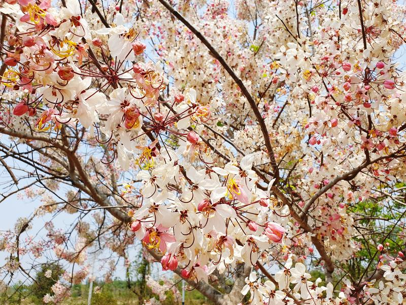 Thailand sakura sherry royaltyfri bild