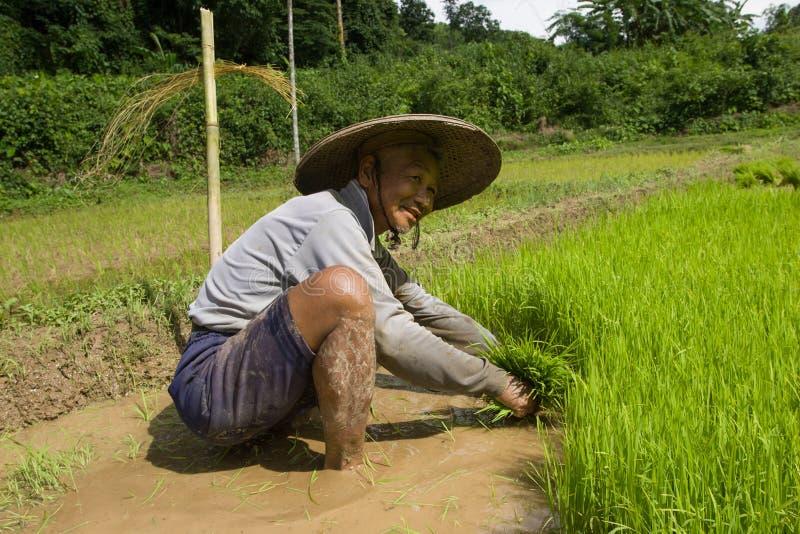 Thailand, Thaise landbouwersmensen die in het padieveld werken stock foto