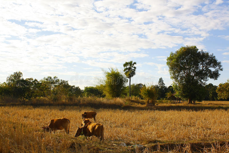 Thailand-Vieh stockfotografie