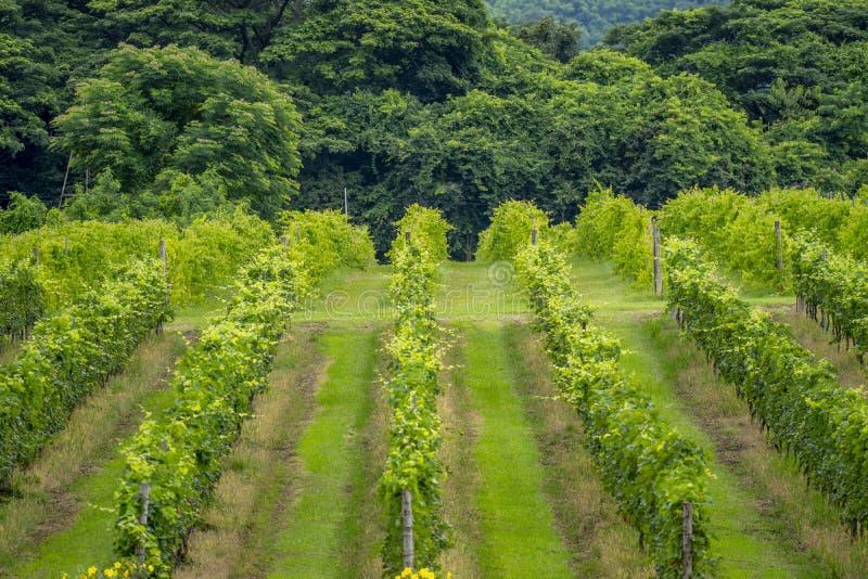 Thailand vingårdar på bergen i sommar royaltyfria foton