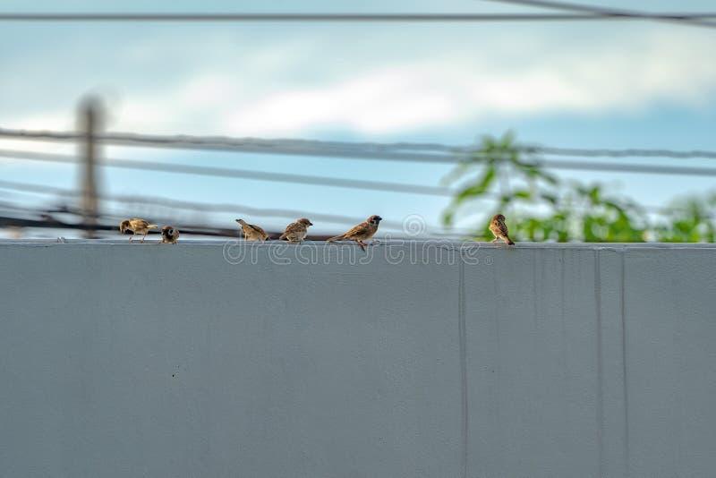 Thailand weinig bruine musvogel in graden en parkeert stock afbeeldingen