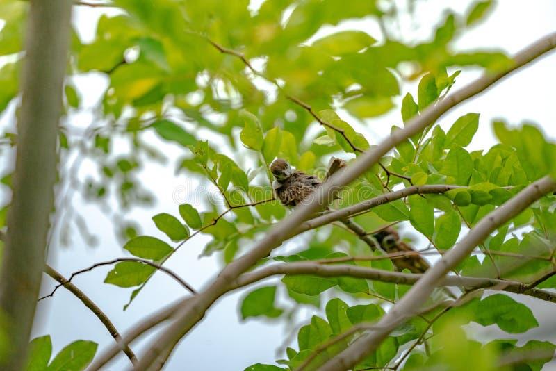 Thailand weinig bruine musvogel in graden en parkeert royalty-vrije stock afbeeldingen