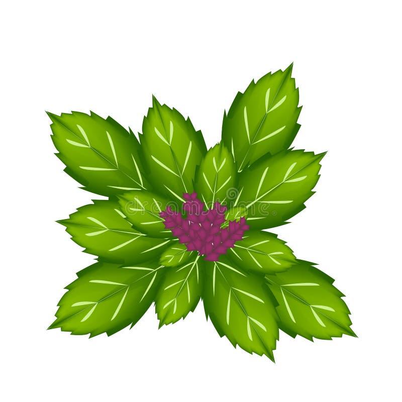 Download Thais Basil Plant Op Witte Achtergrond Vector Illustratie - Illustratie bestaande uit maaltijd, flora: 39114645