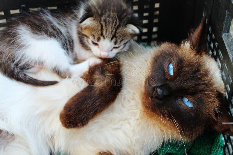 Thais kat en katje stock afbeelding