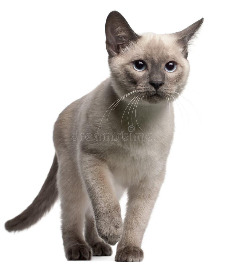 Thais katje, 4 maanden oud, het lopen stock fotografie