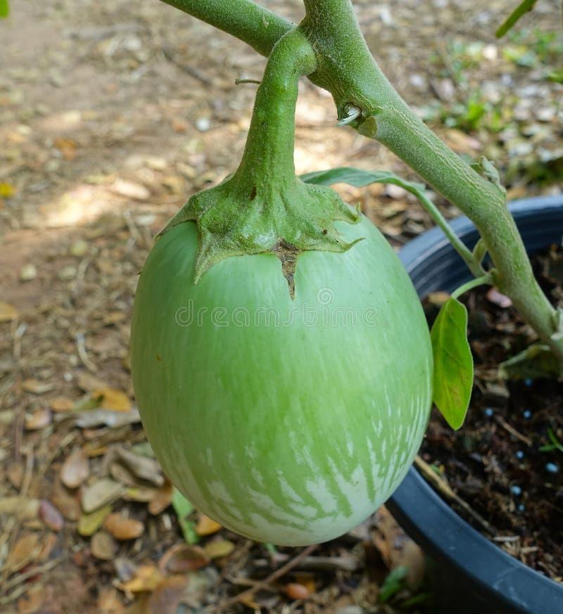 Thaise aubergine op de boom stock foto's
