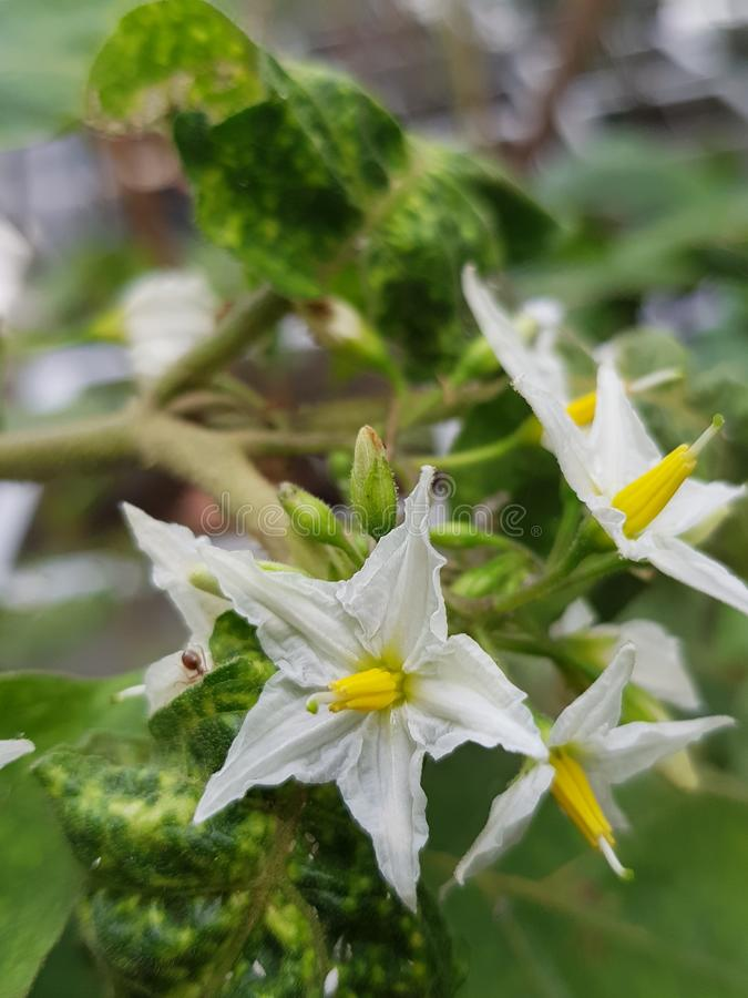 Thaise auberginebloemen royalty-vrije stock foto's