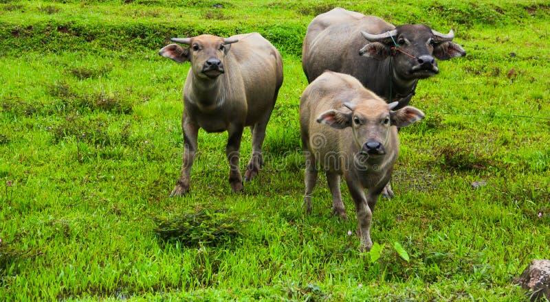Thaise buffels op het gebied stock foto