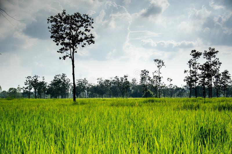 Thaise Hom Mali Rice één van de wereld stock foto