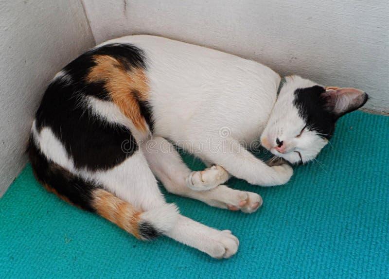 Thaise Kat, die in Tempel slapen royalty-vrije stock fotografie
