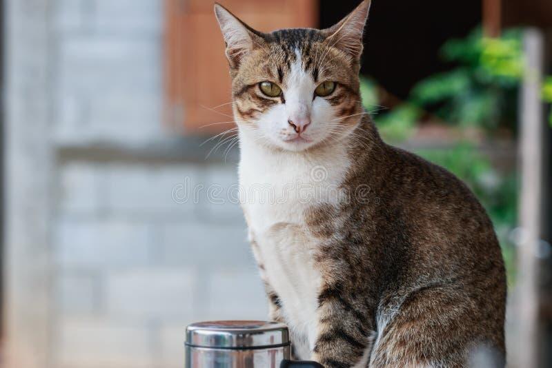 Thaise kat met de witte bruine strepen van de neusfuselage stock afbeelding
