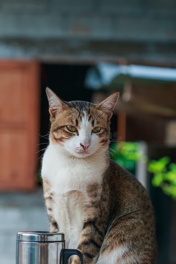 Thaise kat met de witte bruine strepen van de neusfuselage stock afbeeldingen