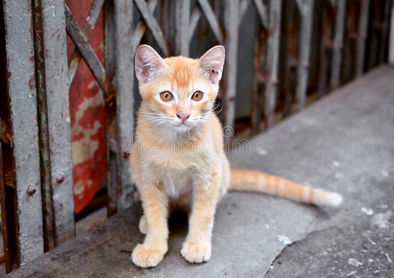 Grey Tabby Thai kat Het Zoeken Van Iets Stock Afbeelding