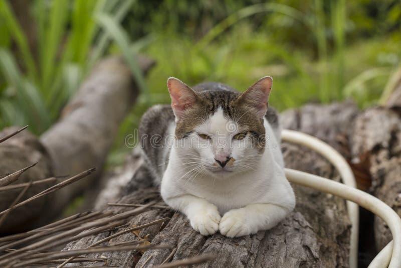 Thaise kattenzitting op logboek royalty-vrije stock foto's