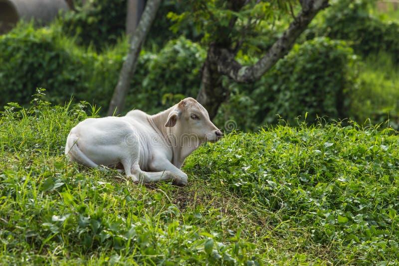 Thaise koeien in Thailand stock foto