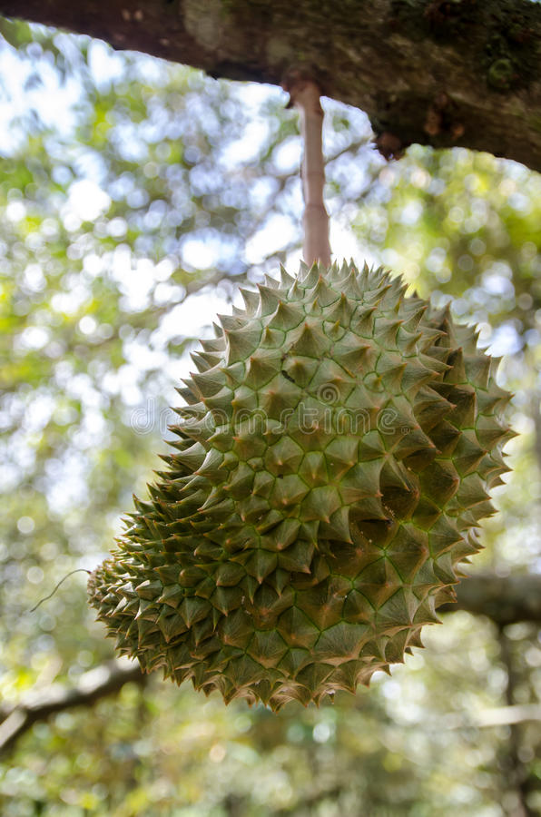 Thaise Koning Fruit royalty-vrije stock afbeeldingen
