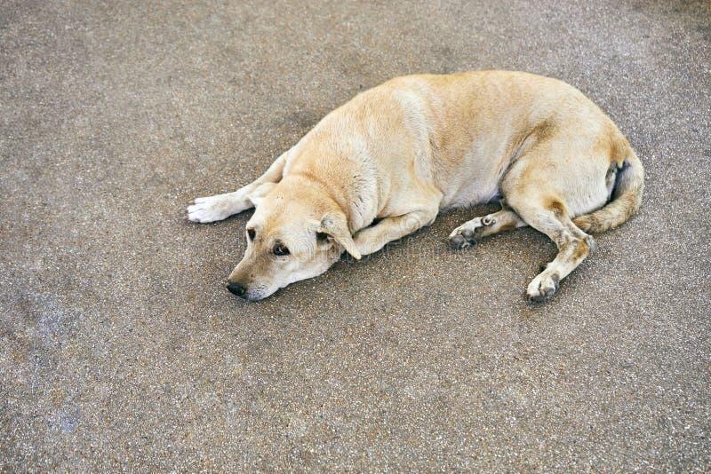 Thaise lichtbruine hondblik bij me terwijl op de straat lig stock afbeeldingen