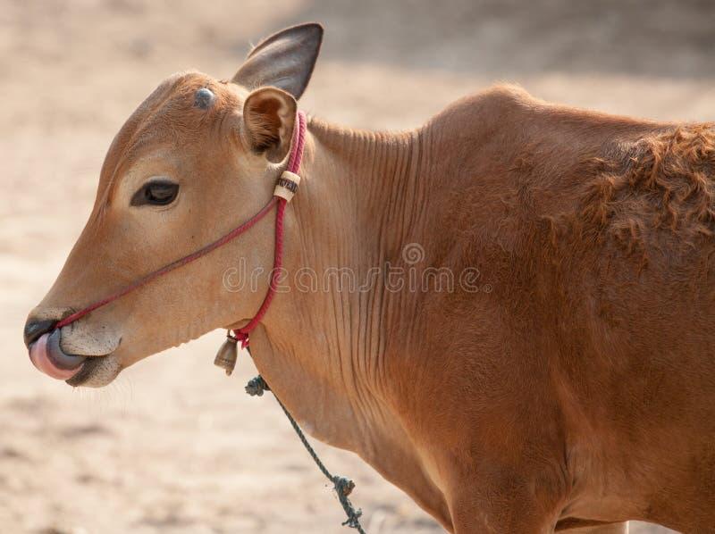 Thaise mannelijke koe royalty-vrije stock afbeelding