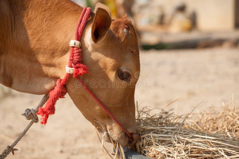 Thaise mannelijke koe royalty-vrije stock foto's