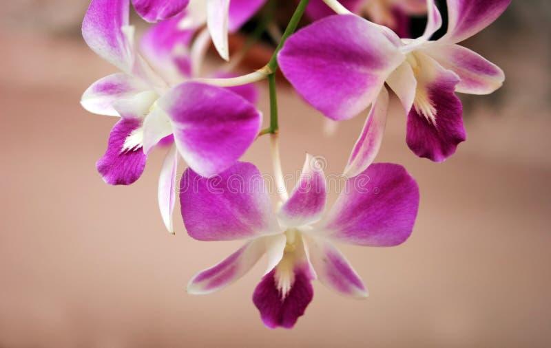 Thaise orchideeën royalty-vrije stock afbeeldingen