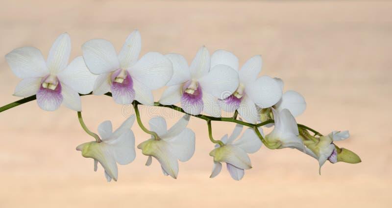 Thaise orchidee stock afbeelding