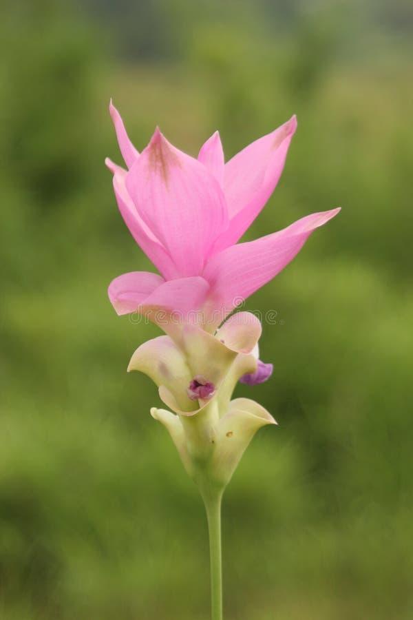 Thaise roze tulpenbloem royalty-vrije stock afbeelding