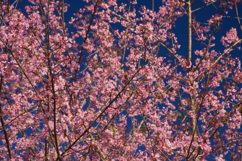 Thaise Sakura royalty-vrije stock afbeelding