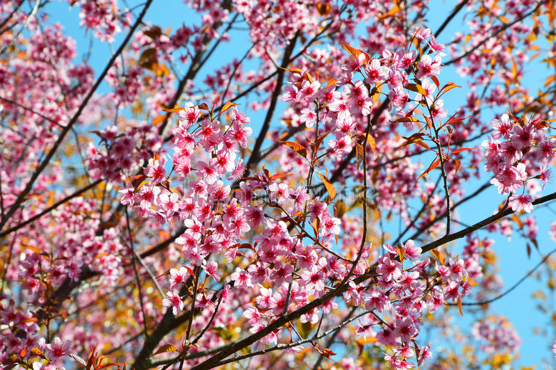 Thaise Sakura stock foto's
