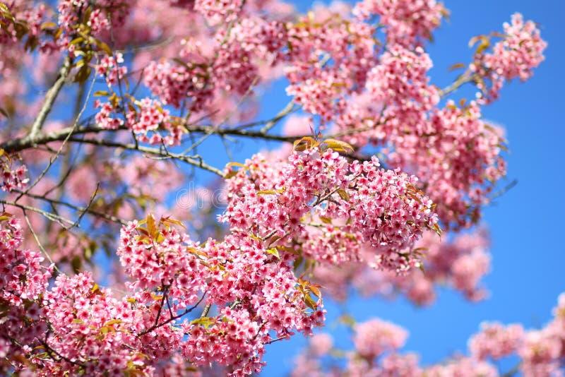 Thaise Sakura-bloem Chiang Mai Thailand stock fotografie