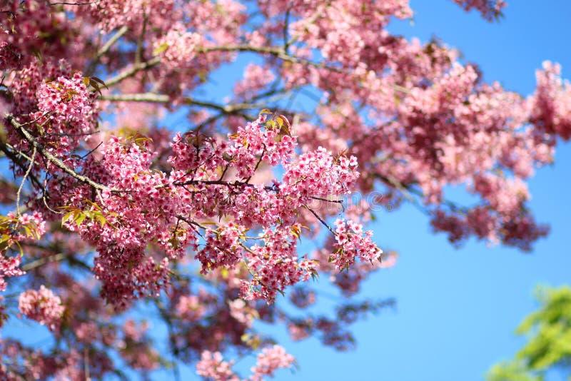 Thaise Sakura-bloem Chiang Mai Thailand royalty-vrije stock fotografie