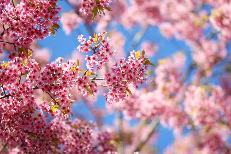 Thaise Sakura-bloem Chiang Mai Thailand royalty-vrije stock foto's