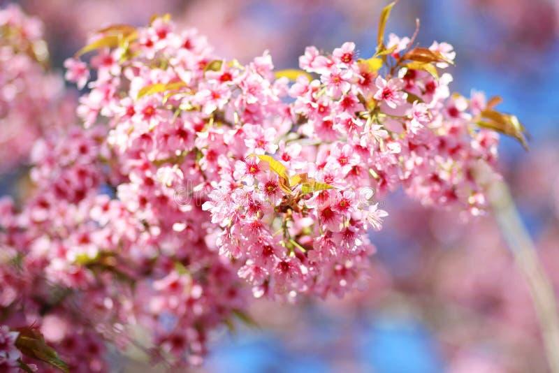 Thaise Sakura-bloem Chiang Mai Thailand stock foto