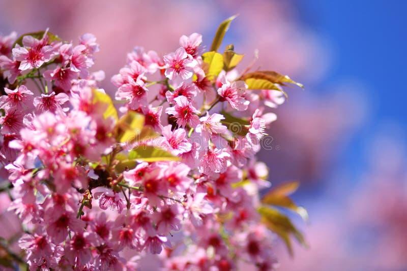 Thaise Sakura-bloem Chiang Mai Thailand stock afbeeldingen