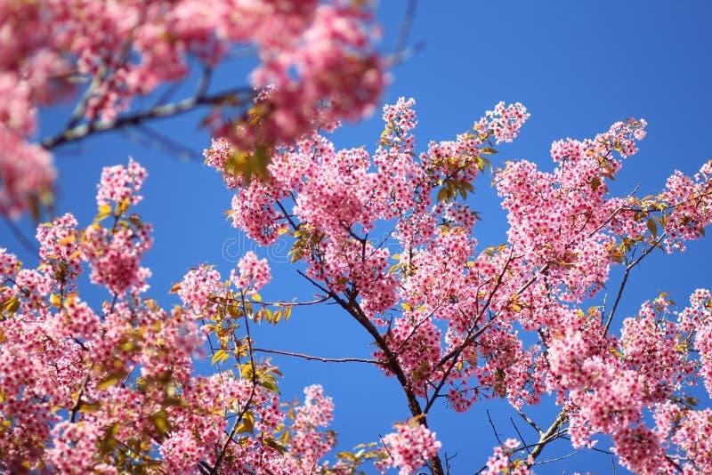 Thaise Sakura-bloem Chiang Mai Thailand royalty-vrije stock foto