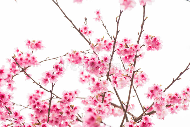 Thaise Sakura in de winter op boom, prunus cerasoides royalty-vrije stock afbeelding
