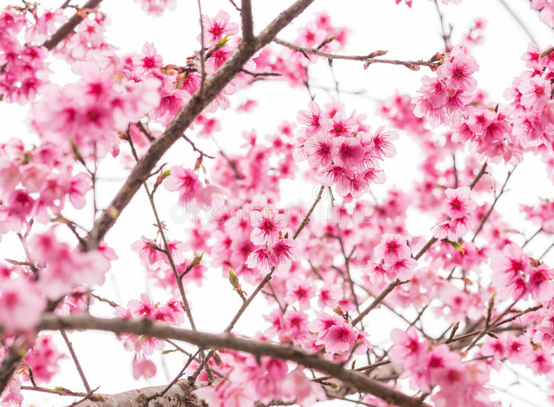 Thaise Sakura in de winter op boom, prunus cerasoides royalty-vrije stock foto
