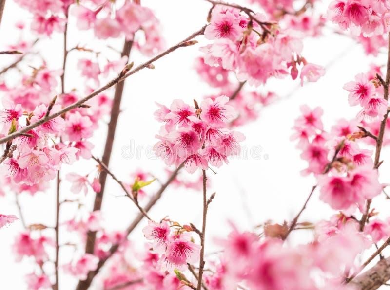 Thaise Sakura in de winter op boom, prunus cerasoides royalty-vrije stock foto's